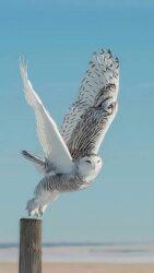 White V owl taking flight from FB 4 19 21 AG1