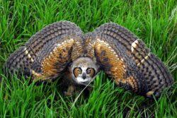 Owl gho threat display deanna beutler AG1 7 22 21