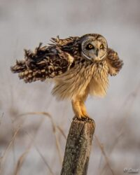 Owl on post with spread wings from FB AG1 2 9 21