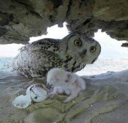 Owl birthing an idea FB 10 10 21 AG1