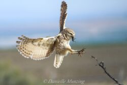 Owl burrowing owl danielle in flight with bug AG1 7 22 21